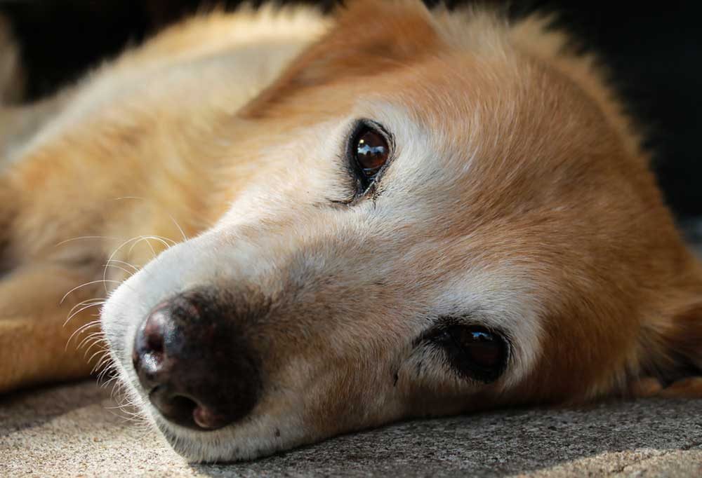 Tan dog with graying face laying on its side