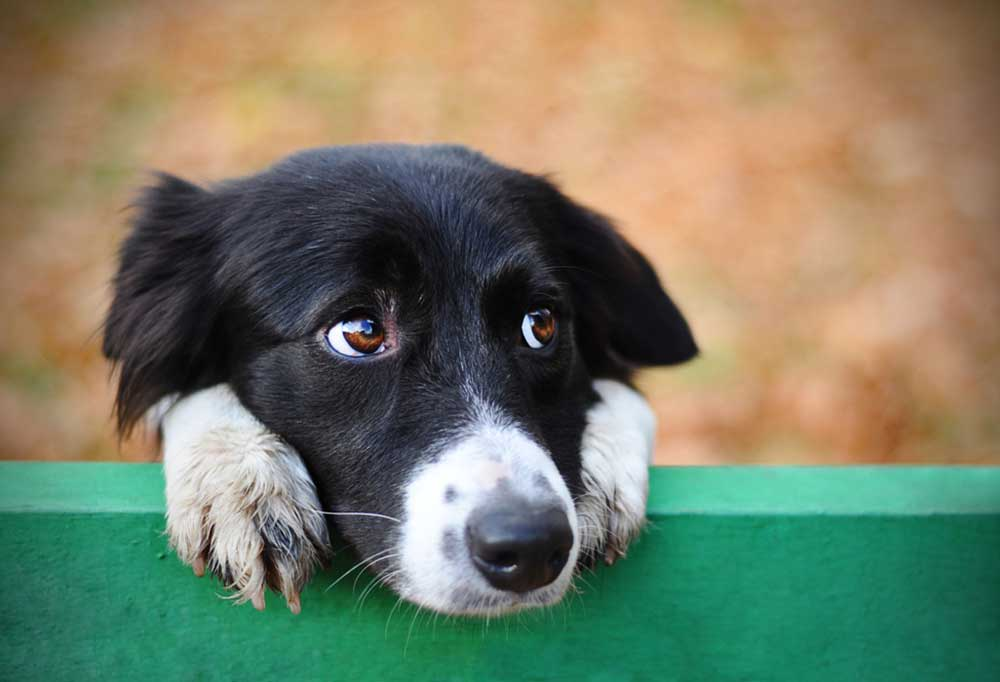 Border Collie with head and paws resting on a green fence board
