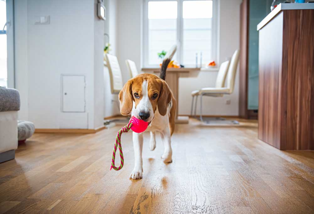 Beagle running through kitchen with a ball and rope toy