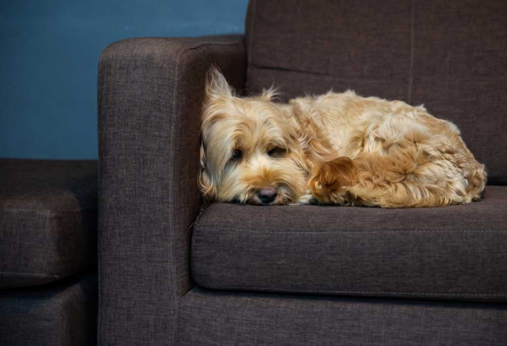 Shaggy long haired tan dog curled up on a dark grey couch