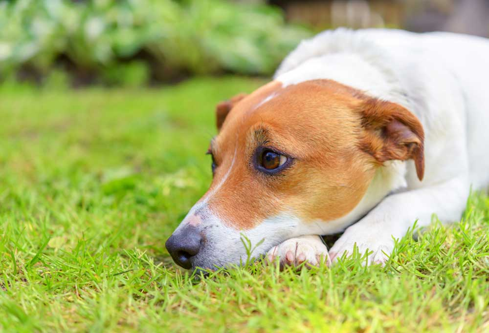Jack Russell Terrier laying in the grass with its head on its paws