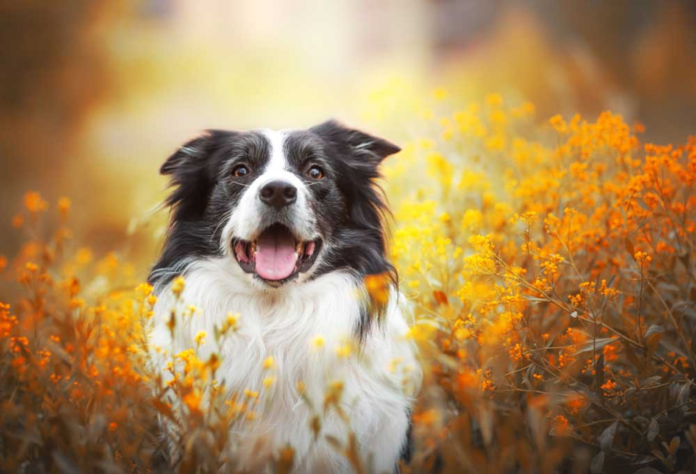 Happy Border Collie sitting in a field of orange and yellow flowers