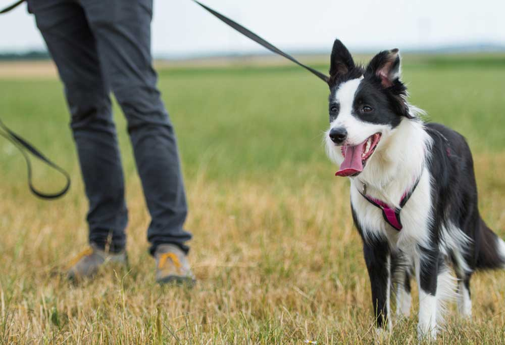Border Collie on a leash being walked in a field