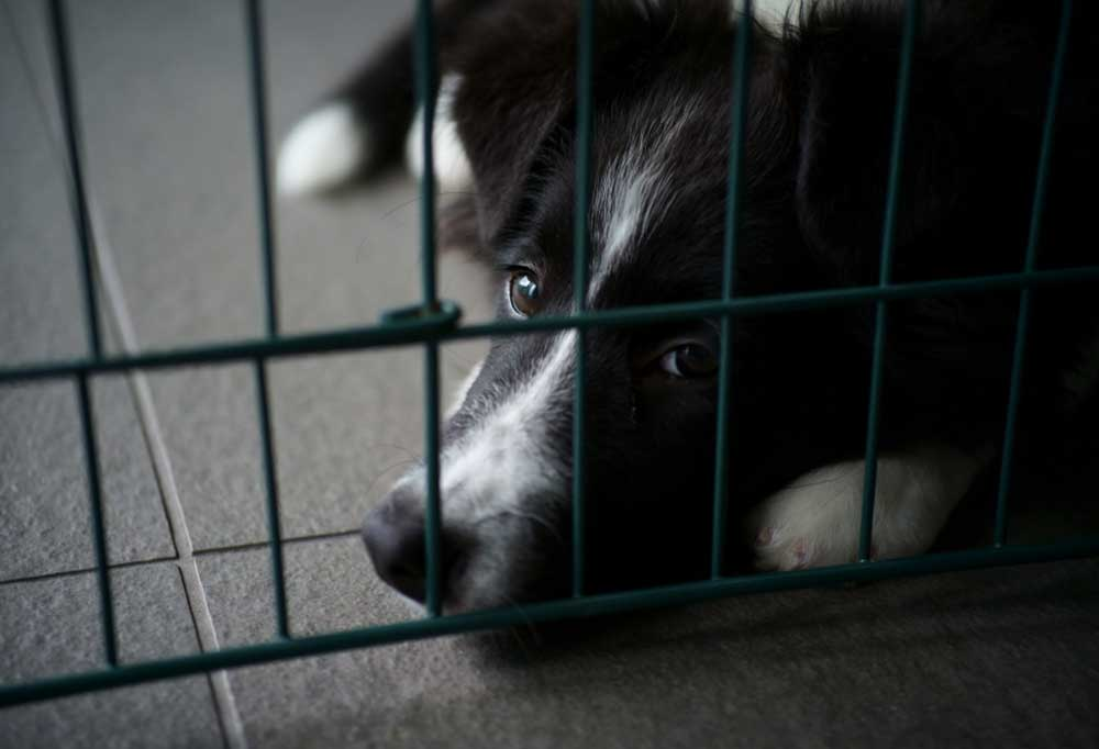Close up of a border collie in a crate