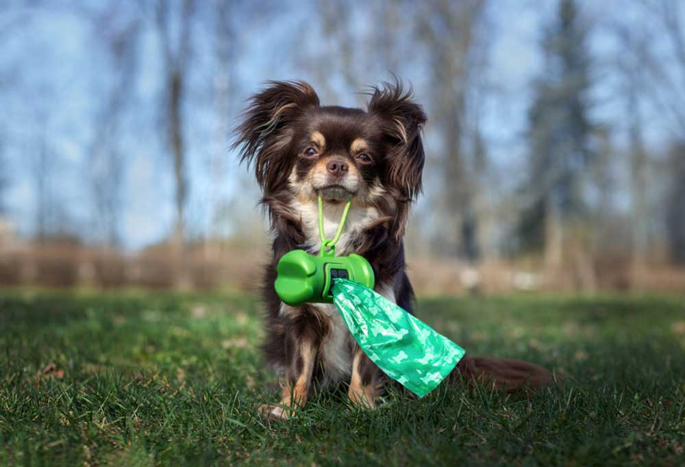 Chihuahua sitting in grass holding a doggie poop bag dispenser in its mouth
