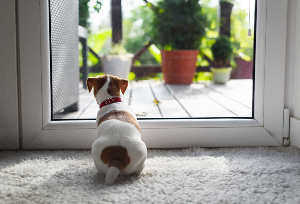Jack Russell terrier looking out of glass door