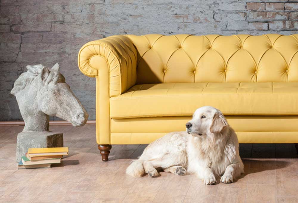 Great Pyrenees laying on wood floor in front of a yellow couch