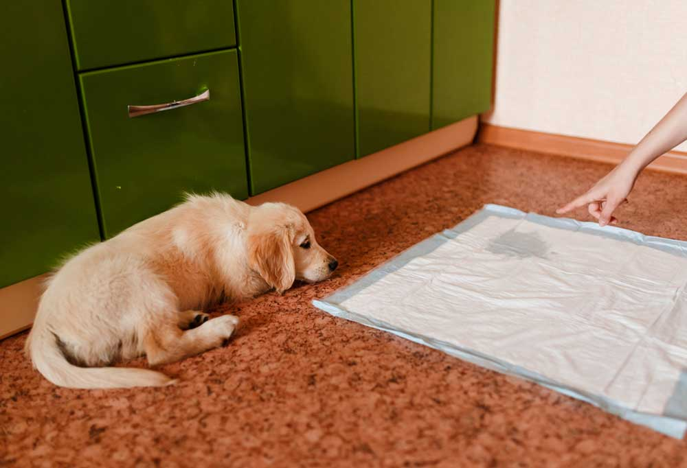 Dog being fussed at for pee spot on puppy pee pad
