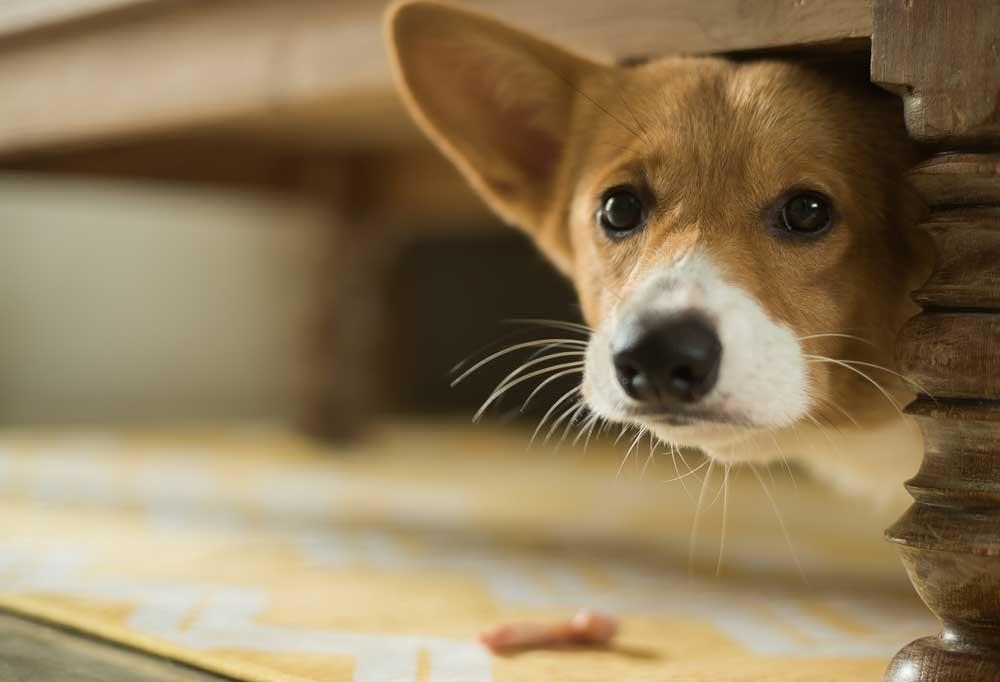 Scared Corgi peeking out from under bed
