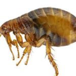 Close up of a flea on a white background