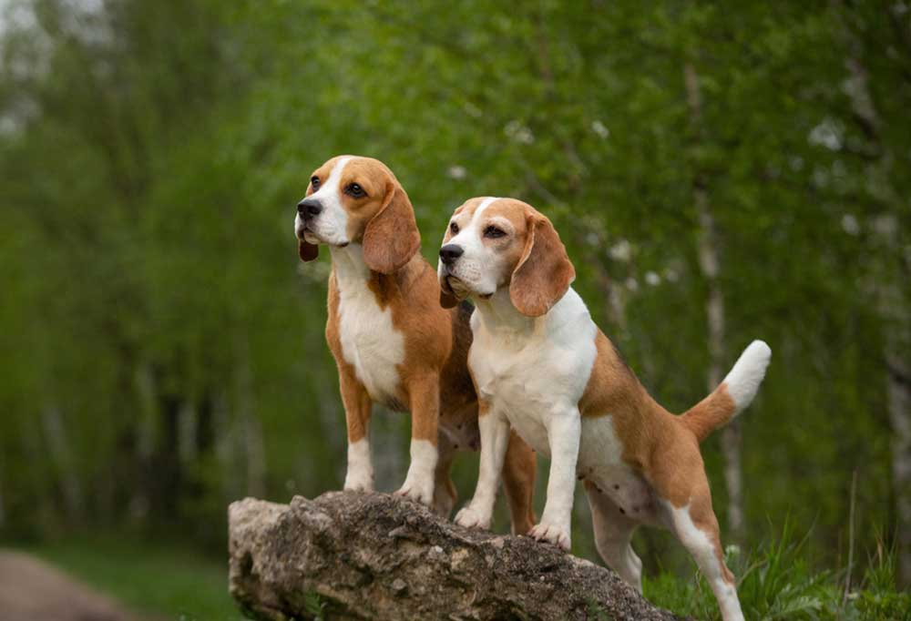 2 Beagles standing on a bouldger outdoors