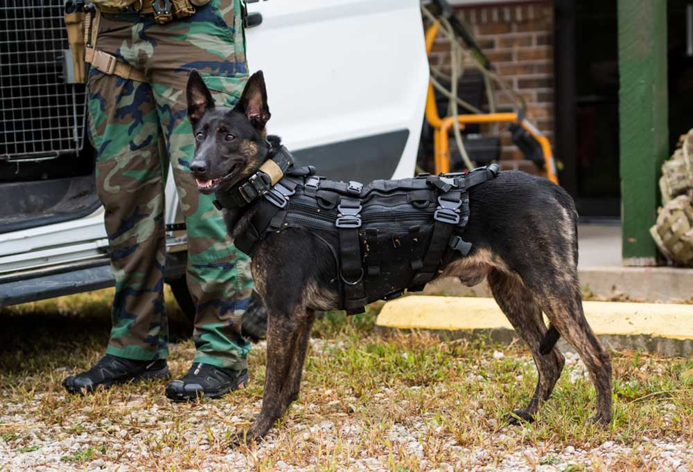 Dutch shepherd in protective gear standing next to person in camouflage