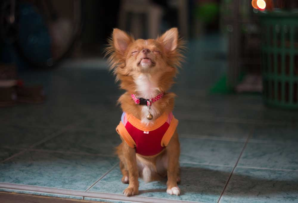 Chihuahua sitting on tile floor howling
