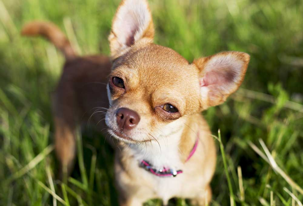 Brown and white Chihuahua standing in grass