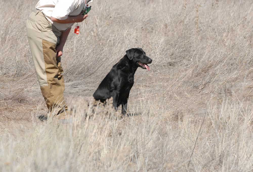 Man bent over at the waste towards a black lab as if giving the dog instruction  in a field of tall dead grass
