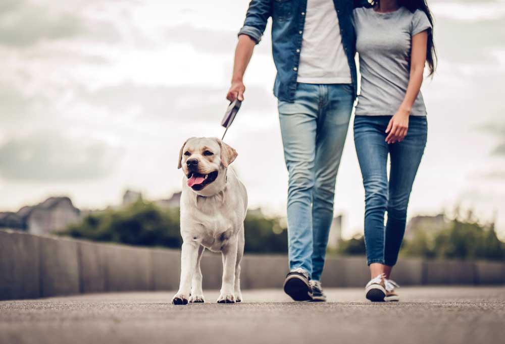 Yellow Labrador retriever walking on a lead next to a couple.