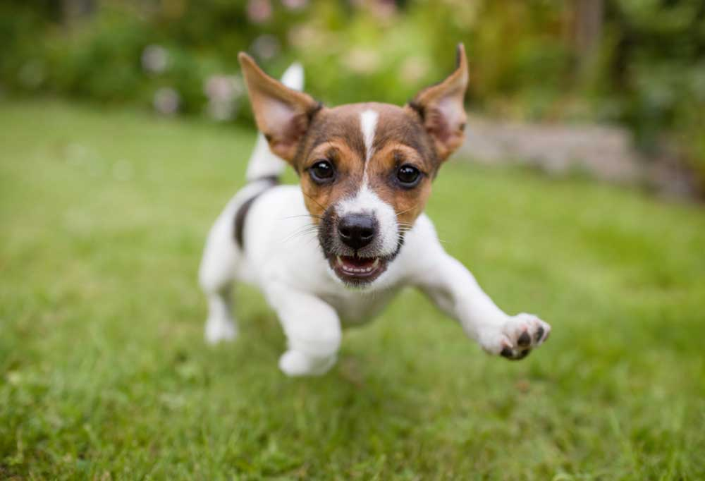 Jack Russell Terrier puppy running and jumping outdoors in the grass