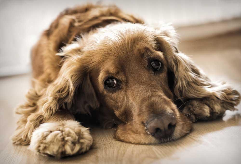 Brown dog laying down