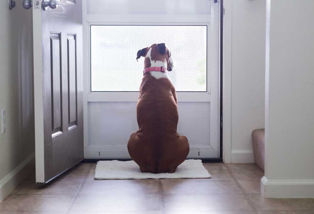 Boxer sitting at front door looking out of the screen