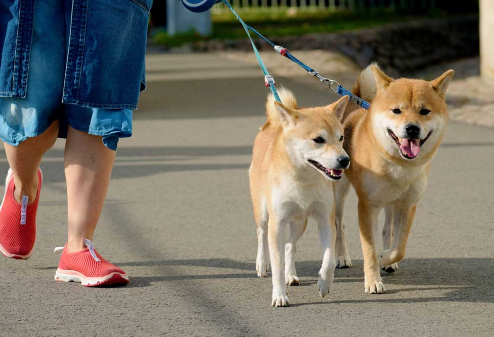 A pair of Shiba Inus walking on a leash next to a person in red shoes