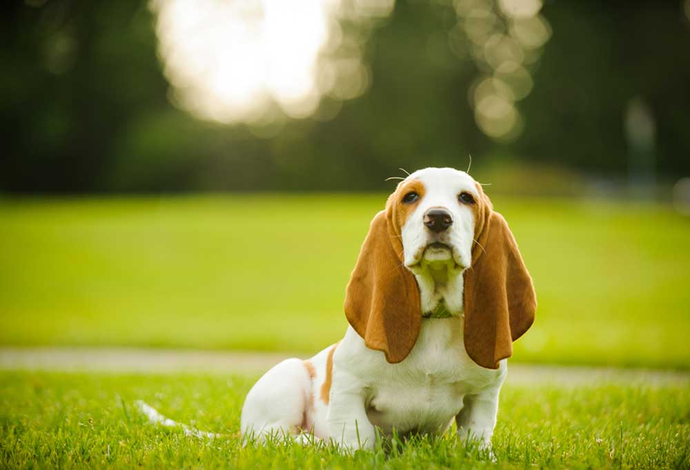 Beagle puppy sitting in grass outdoors