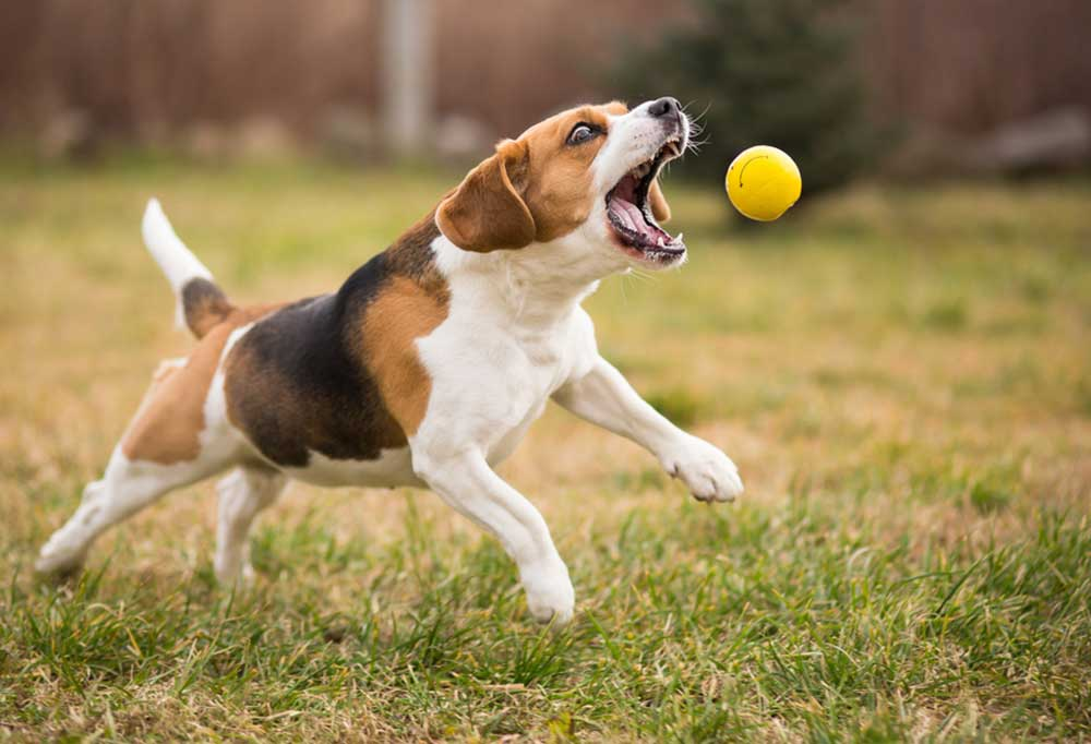 Beagle catching yellow ball outdoors in grass covered yard
