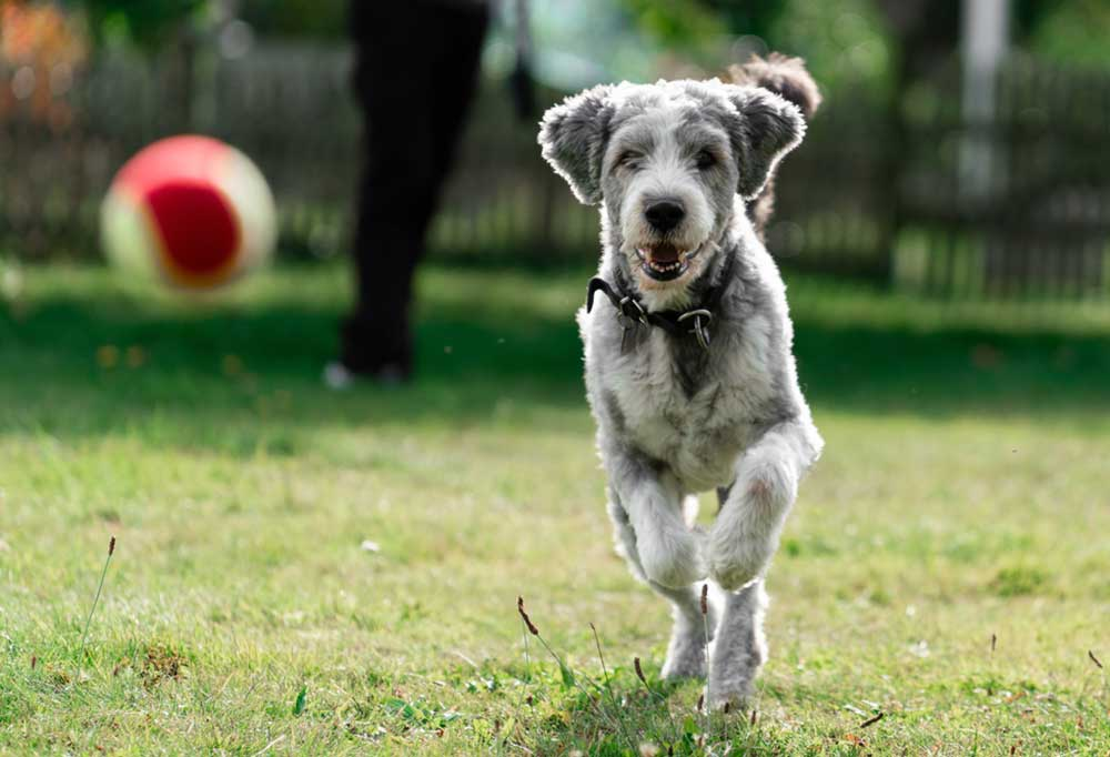 Shaggy grey and white dog running after a tennis ball outdoors