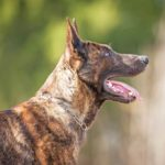 Side view of the head and shoulders of a Dutch shepherd