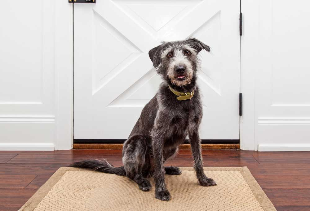 Scruffy dog sitting on a run at the front door waiting