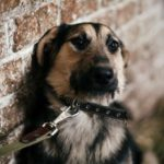 German shepherd mix on a leash leaning against a brick wall and backing away
