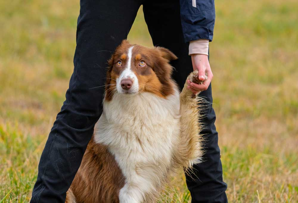 Shaggy brown and white dog sitting between the legs of a person with it's paw in the person's hand