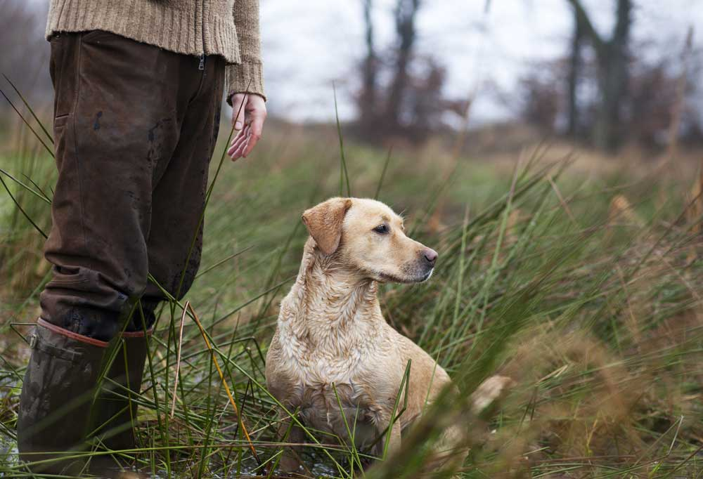 Yellow Labrador Retriever standing in tall grass next to person in brown pants and water boots
