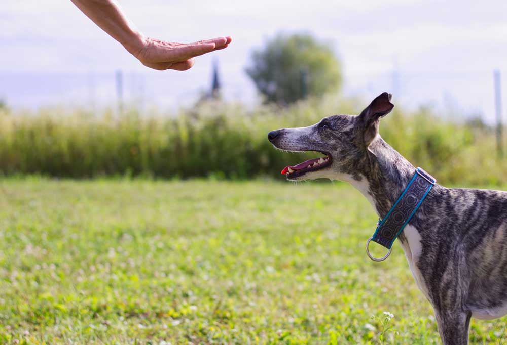 Person holding hand out to grey hound telling it to stay. Outdoors in grass field