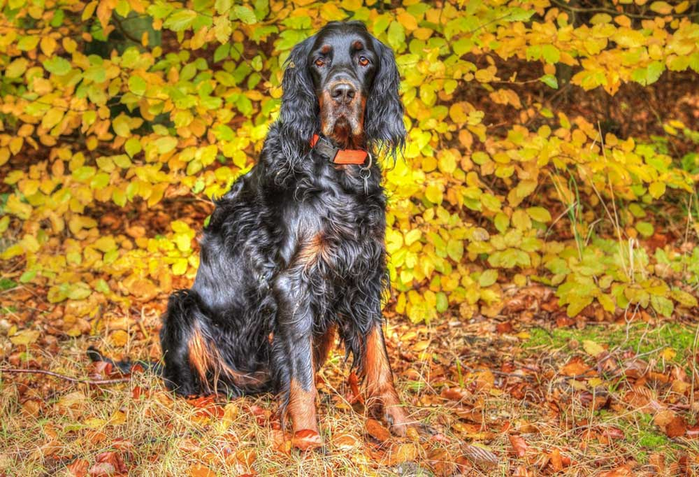 Long haired black and brown dog sitting on leaf covered ground in front of trees