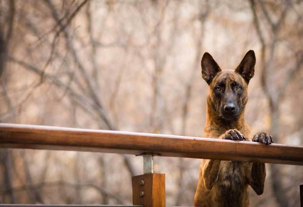 Dutch Shepherd with front paws on a wooden railing outdoors