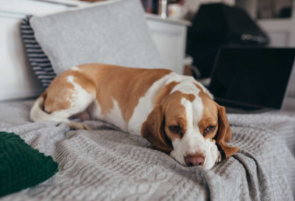 Beagle on bed with head laying down