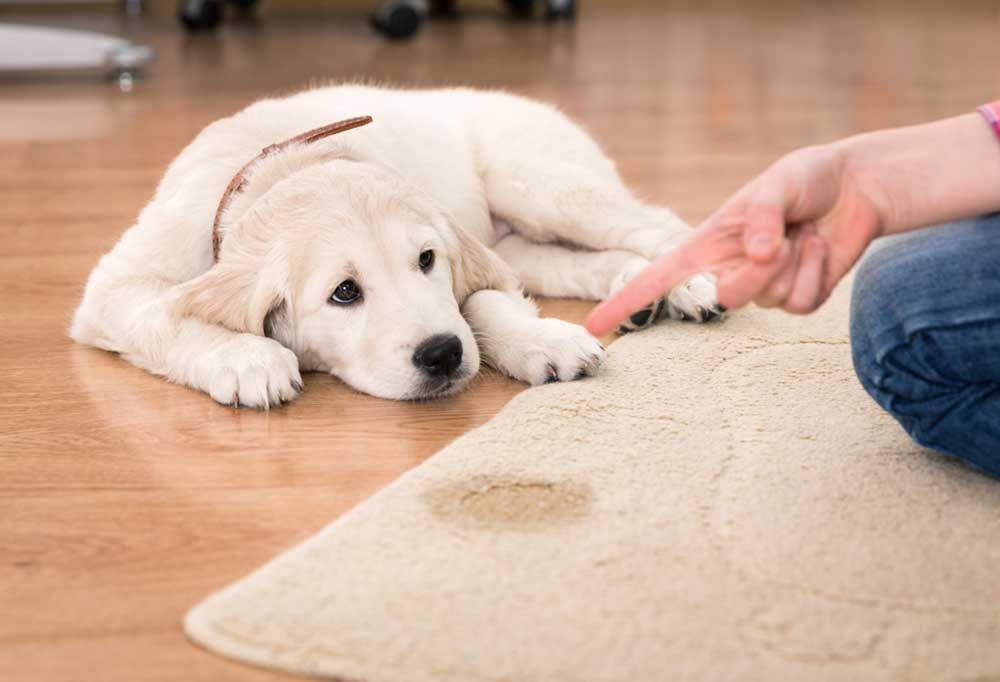 Retriever puppy laying on hard wood floor being fussed at by person pointing finger at wet spot on area rug