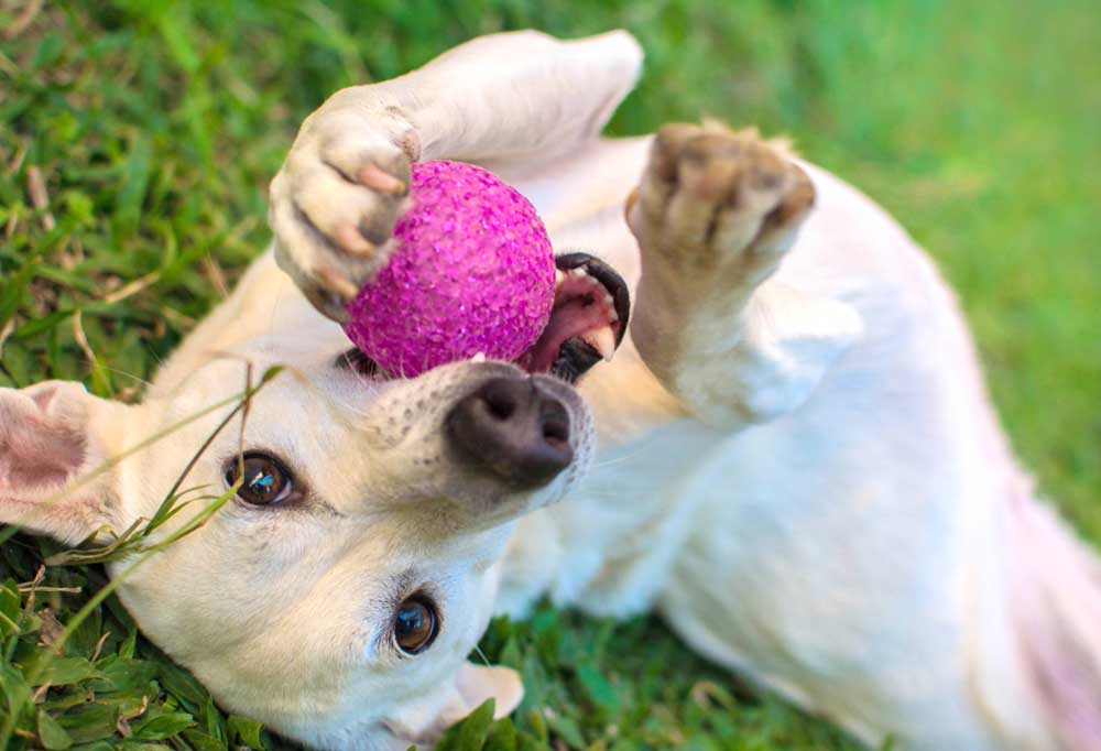 tan dog laying upside down on back with pink ball in mouth