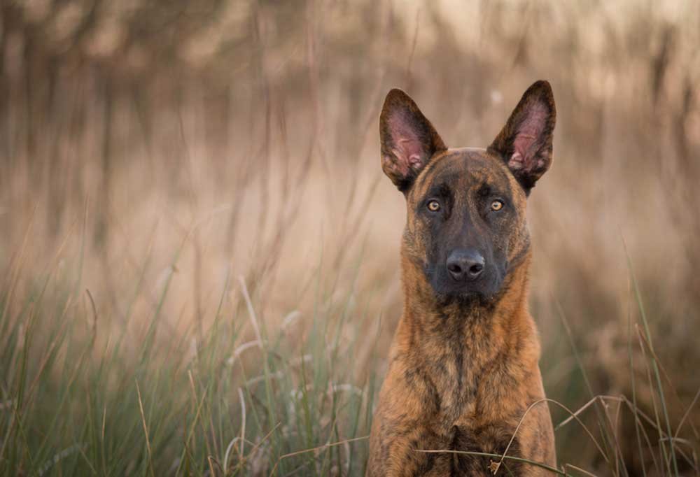 Portrait of a Dutch Shepherd  in tall grass and weeds