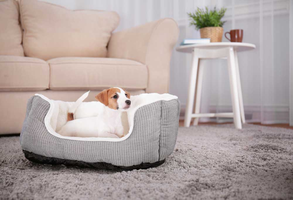 Jack Russell Terrier puppy laying in dog bed