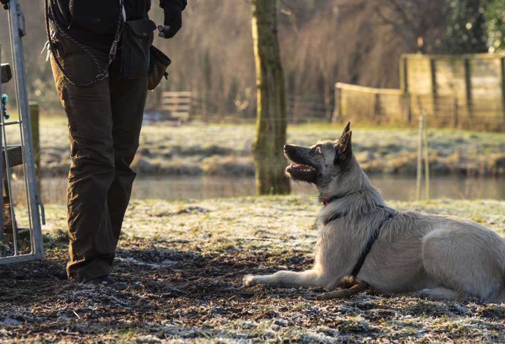 Wire haired Dutch Shepherd laying down looking up to its trainer awaiting the next command