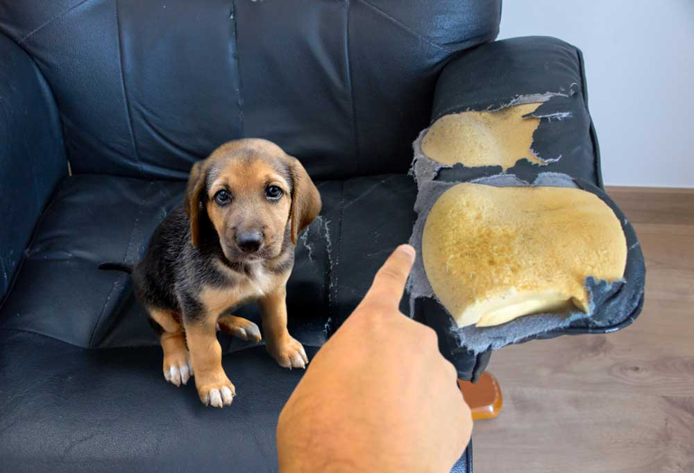 Puppy being fussed at for chewing arm of chair
