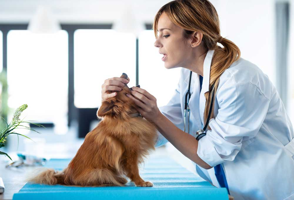 Veterinarian looking into the mouth of a Pomeranian sitting on a blue exam table