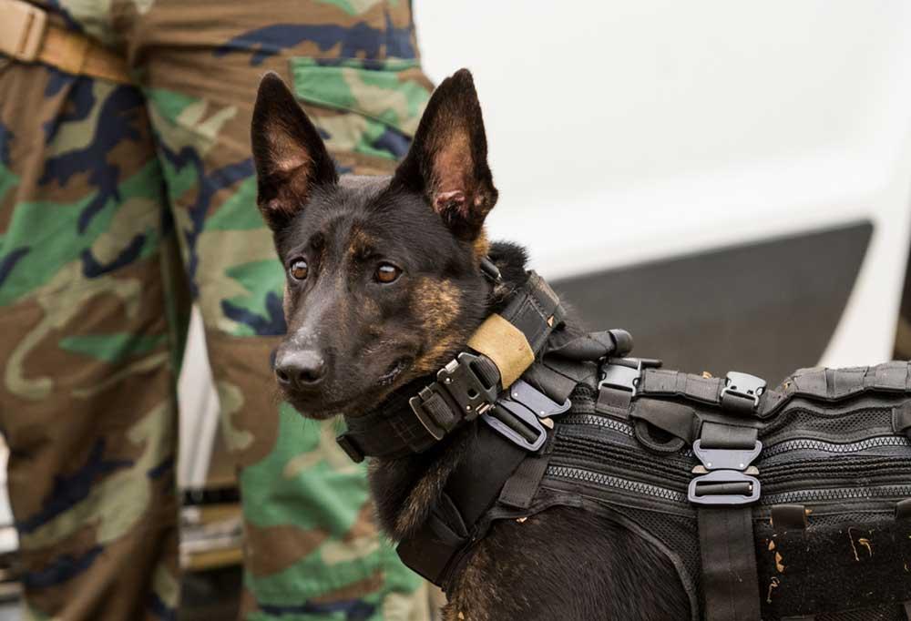 Close up of Dutch Shepherd in a protective vest next to person in camouflage.