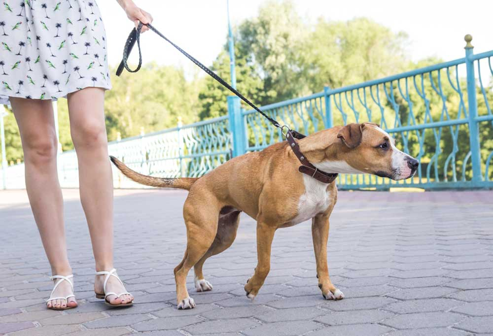 Woman walking dog on leash on a brick boardwalk with the dog pulling against the lead