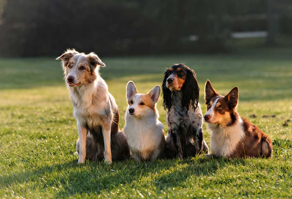 4 dogs sitting in grass outdoors