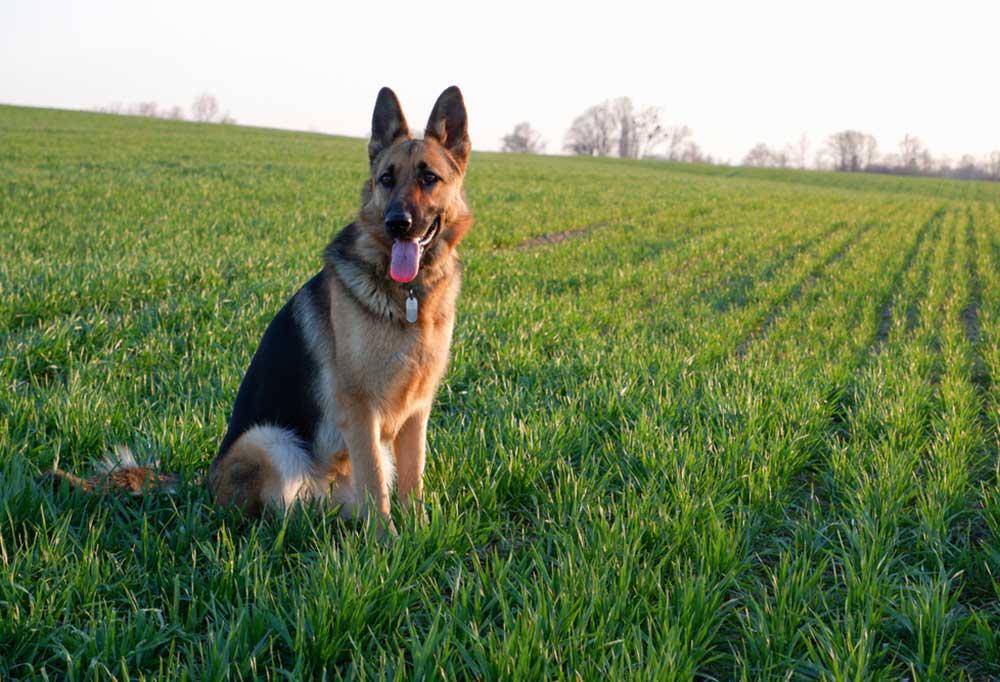 German Shepherd sitting in a field