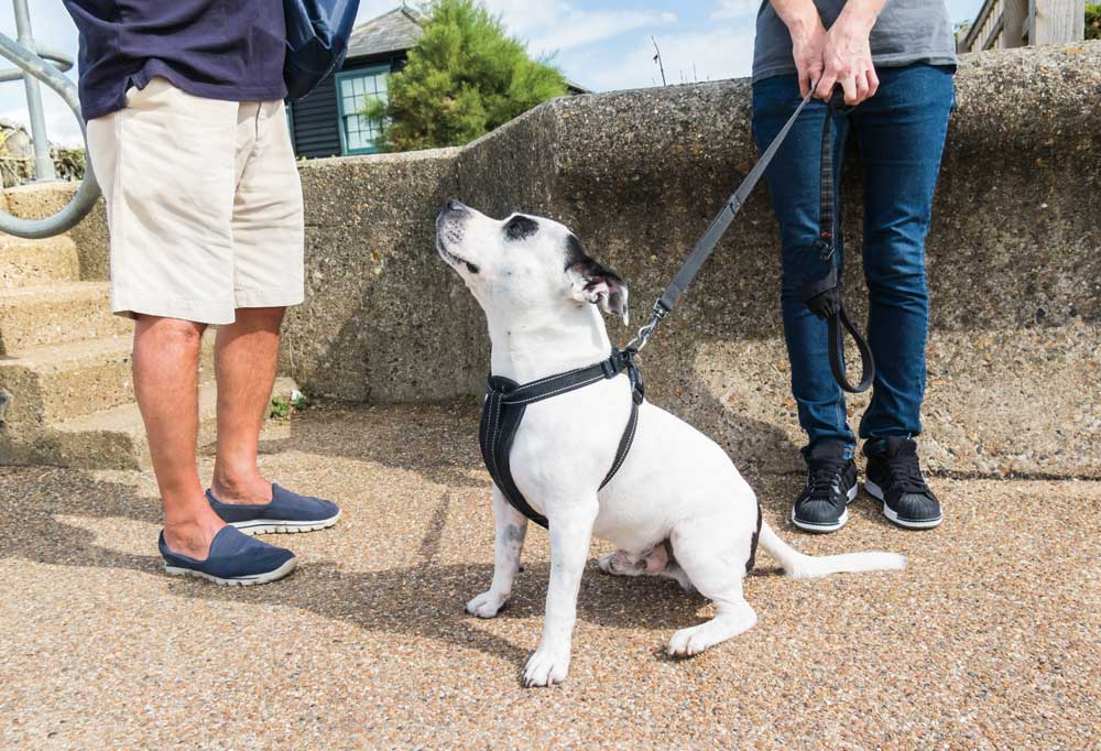 White dog with black ears and eyes on a lead and harness with lead being held by owner, standing on sidewalk talking to another person