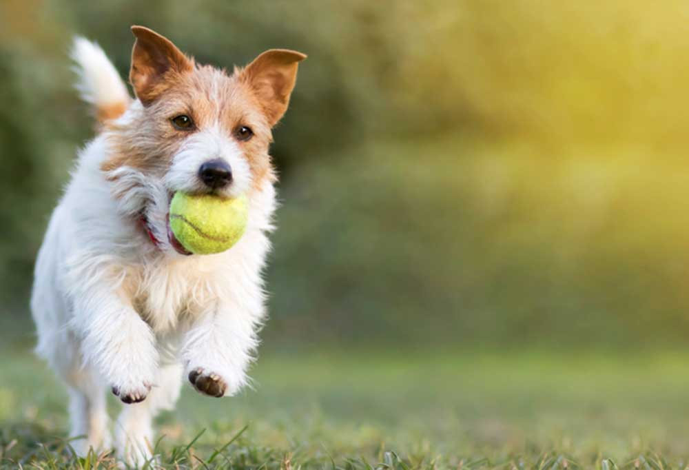 Jack Russell Terrier with a yellow tennis ball in its mouth running outdoors
