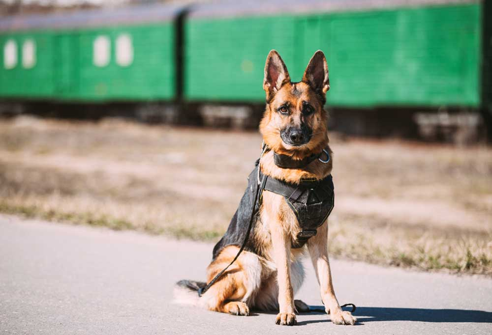 German Shepherd in vest sitting on a road next to railroad tracks with a train in the background